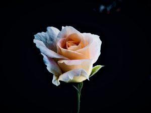 Uitvaart rozen
